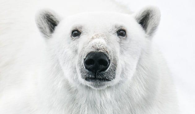 polar bear arctic