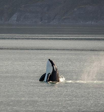 Walbeobachtung in der Alert Bay