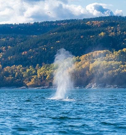 Observer les baleines de l'estuaire du fleuve Saint-Laurent - Canada
