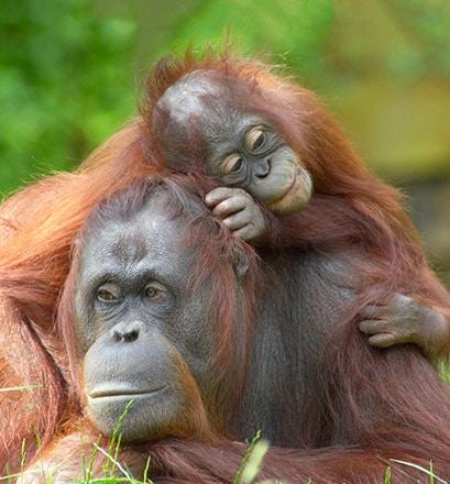 Rencontrer les orangs-outans - Malaisie