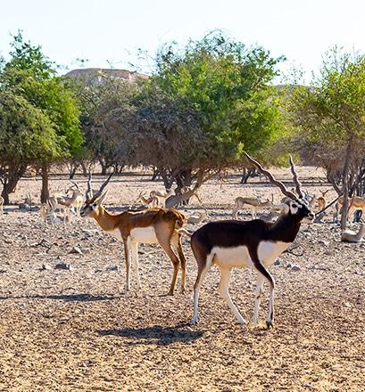 Observer la faune sauvage à Sir Bani Yas - Émirats arabes unis
