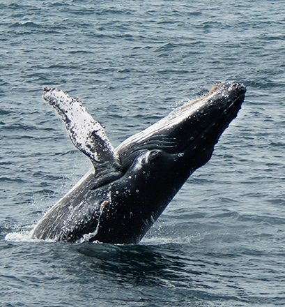 Observer les dauphins et les baleines - Moorea, Polynésie française