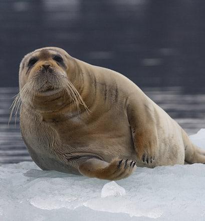Visiter Kongsfjorden, un des plus beaux fjords du Svalbard