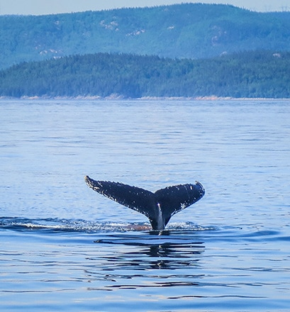 Whale watching — Quebec