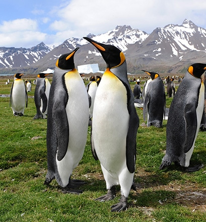 Get up close to a colony of king penguins