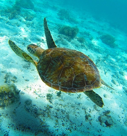 A fragile paradise for green sea turtles