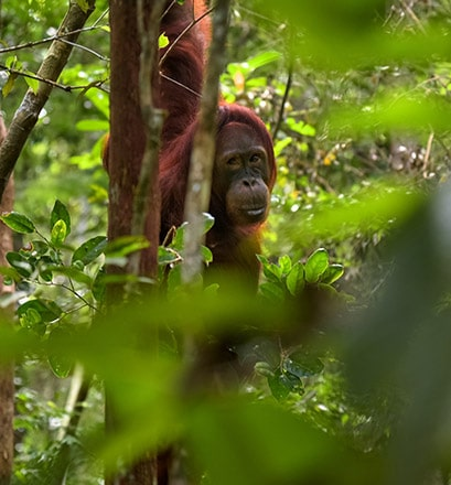 Come face to face with the orangutans - Indonesia