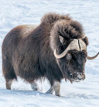 Admirer la faune du parc national Aulavik