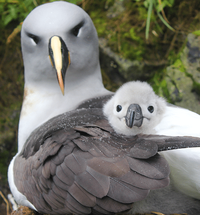 An important nesting site for albatrosses