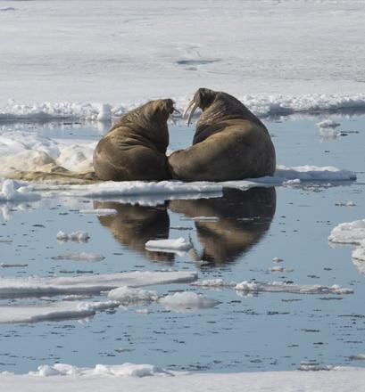Admirer la biodiversité arctique de l'île Wrangel